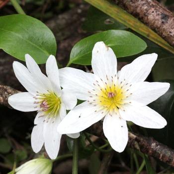 Puawhananga - Clematis flowers - NZ Native