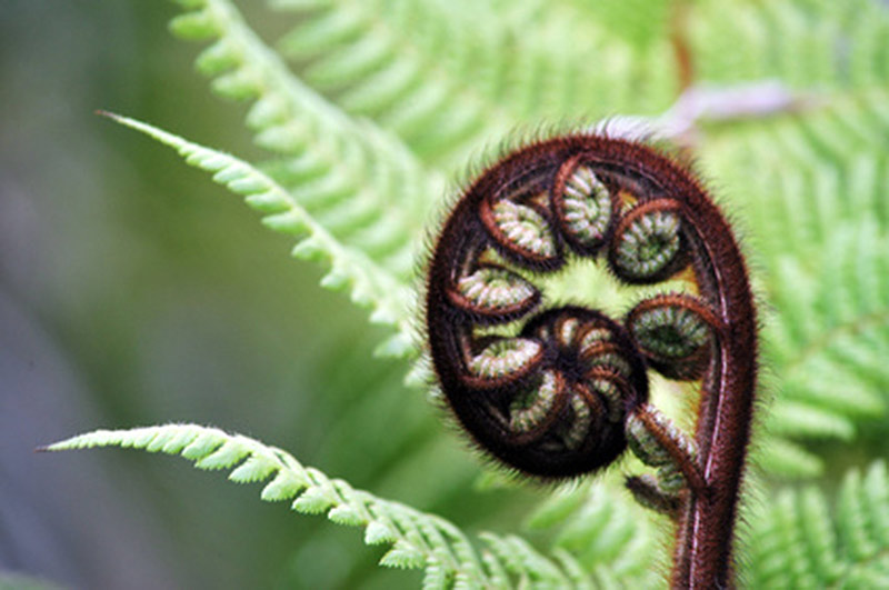 Fern-frond_Equate-Feng-Shui-NZ