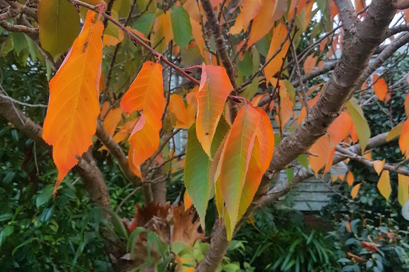 equate feng shui-leaves about to let go from a prunus tree. Beautiful golds